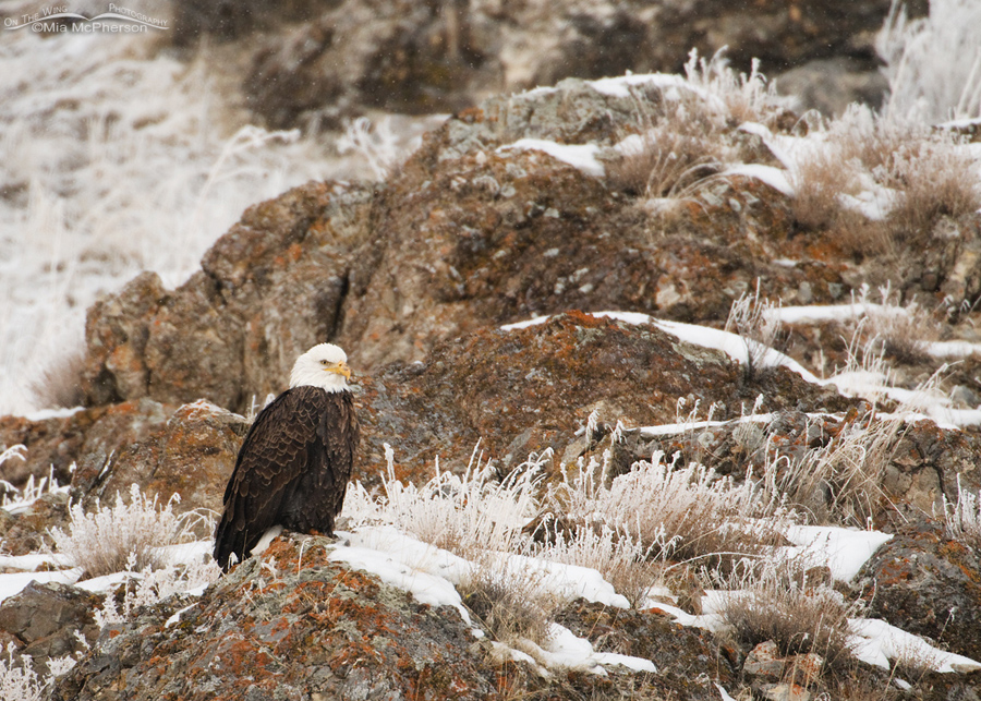 Bald Eagle - Small in the frame - Golden Spike National Monument