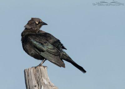 Preening Brewer's Blackbird