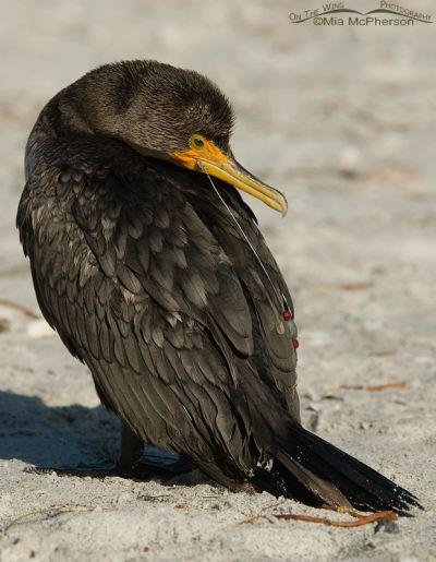 Injured Cormorant