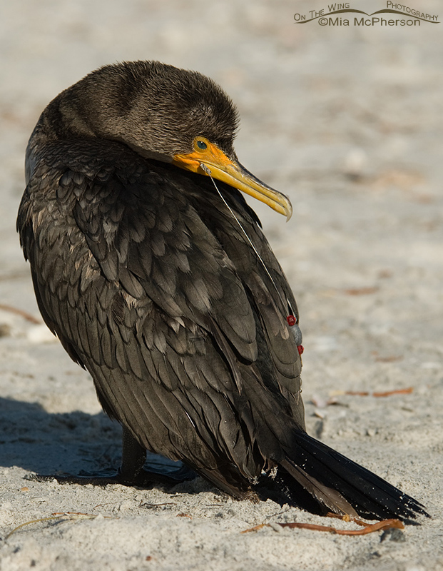 Injured Cormorant