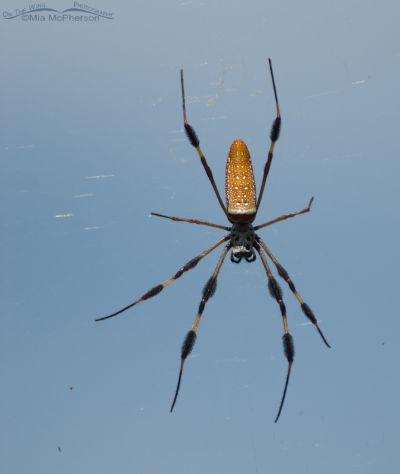 Female Golden-silk Spider against a blue sky
