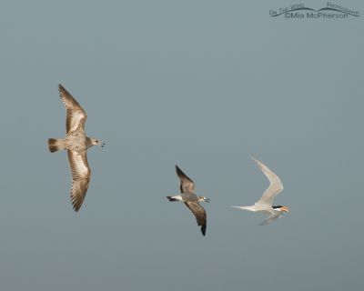 Herring and Laughing Gulls and a Royal Tern