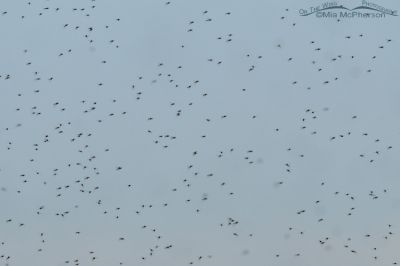 A swarm of Midges