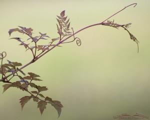 Peppervine (Ampelopsis arborea)
