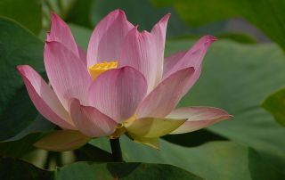 Pink Lotus in Auckland, New Zealand
