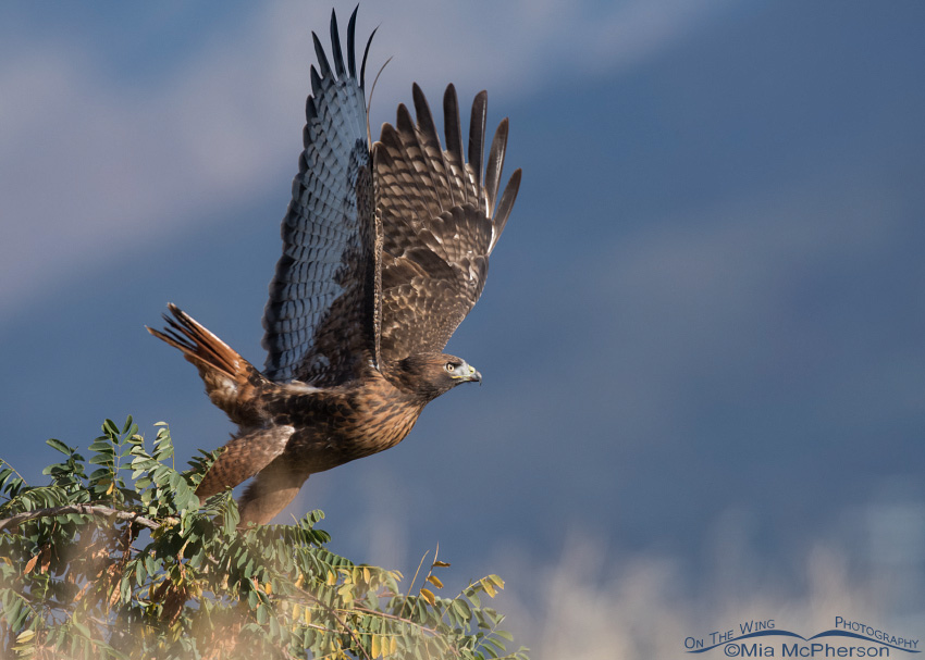 Red-tailed Hawk lifting off