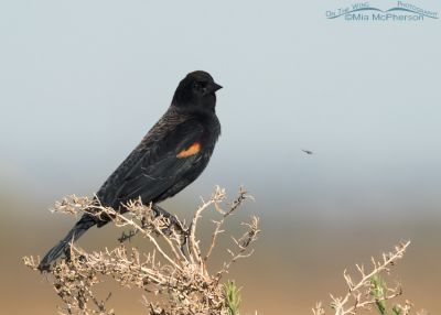 Red-winged Blackbird and a Midge