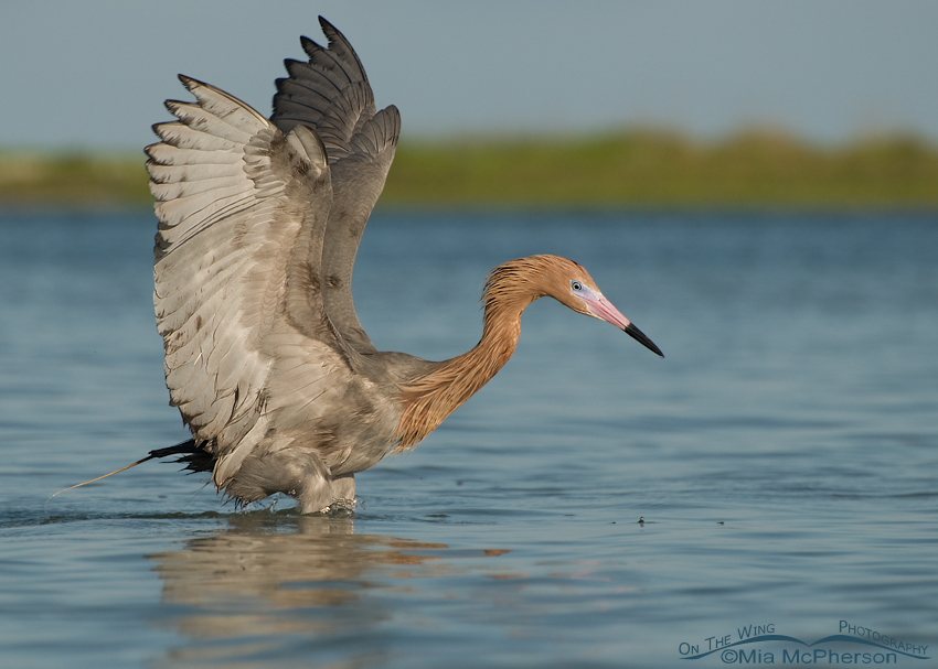Reddish Egret with oil on it's plumage