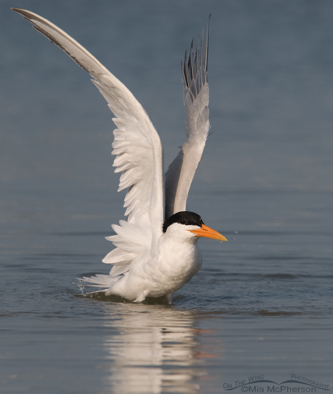 Royal Tern with wings up...