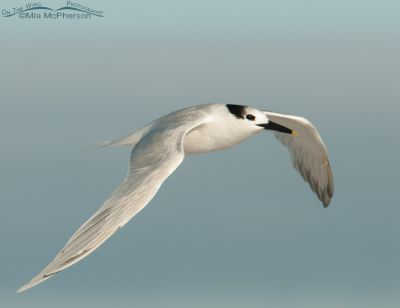 Sandwich Tern and a pastel sky