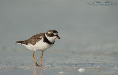 Gulf shore Semipalmated Plover