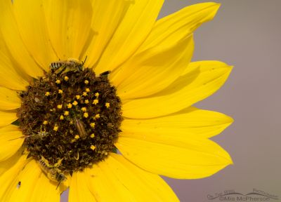 Common Sunflower and pollinators