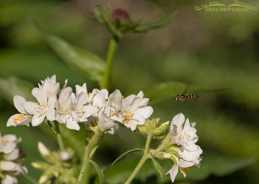 Towering Jacob's-ladder and American Hoverfly