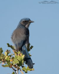 Woodhouse's Scrub-Jay perched on an oak