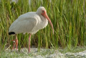White Ibis with foot tangled in fishing line