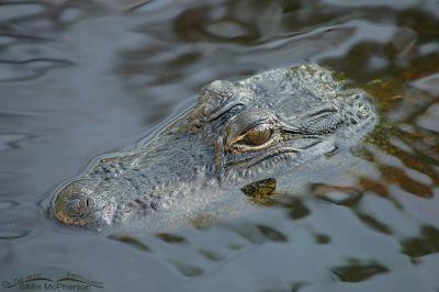 """American Alligator at J. N. """"Ding"""" Darling National Wildlife Refuge"""