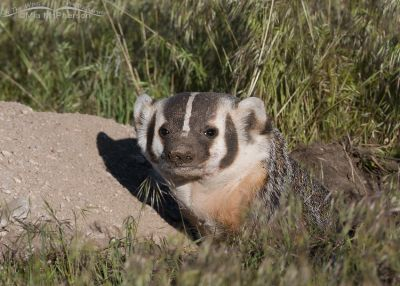 American Badger at its burrow