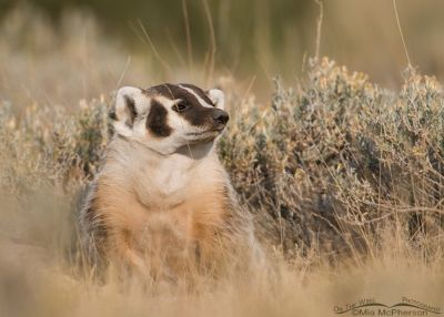 American Badger profile