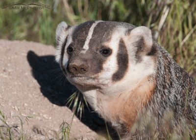 American Badger portrait