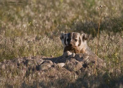 An American Badger with its prey, a Long-tailed Weasel