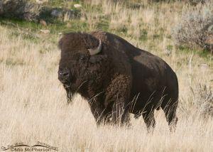 Bison Bull in Autumn grasses