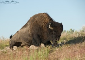 Bison Bull gertting up from the wallow