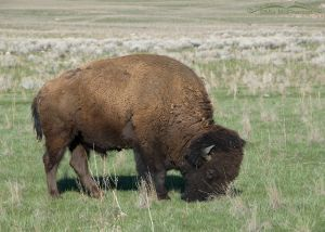 Bison bull grazing on the new grasses of spring