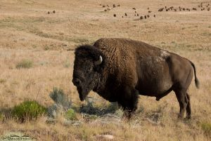 Bison Bull with herd behind him