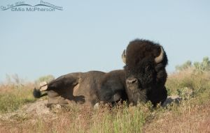Bison Bull wallowing