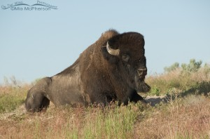 Bison Bull getting up frm a wallow