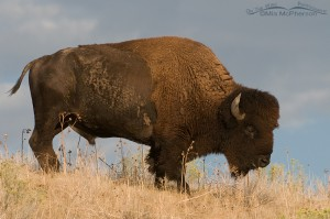 Bison bull on a hill