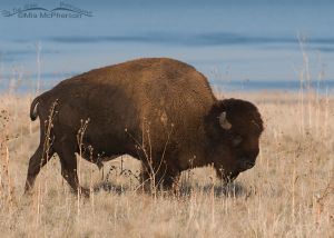 Bison bull in the fall