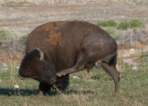 An American Bison bull scratching an itch