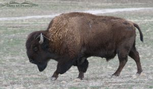 An American Bison in early spring