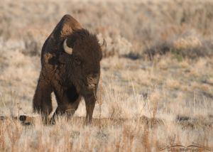 Ticked off American Bison bull