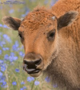 American Bison calf in a field of Lewis's Flax