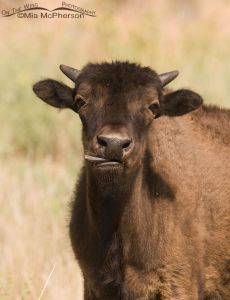 Young Bison licking it's lips