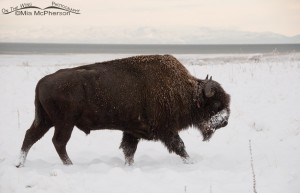 Bison bull in the snow at White Rock Bay