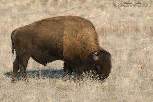 Bison feeding on Antelope Island State Park