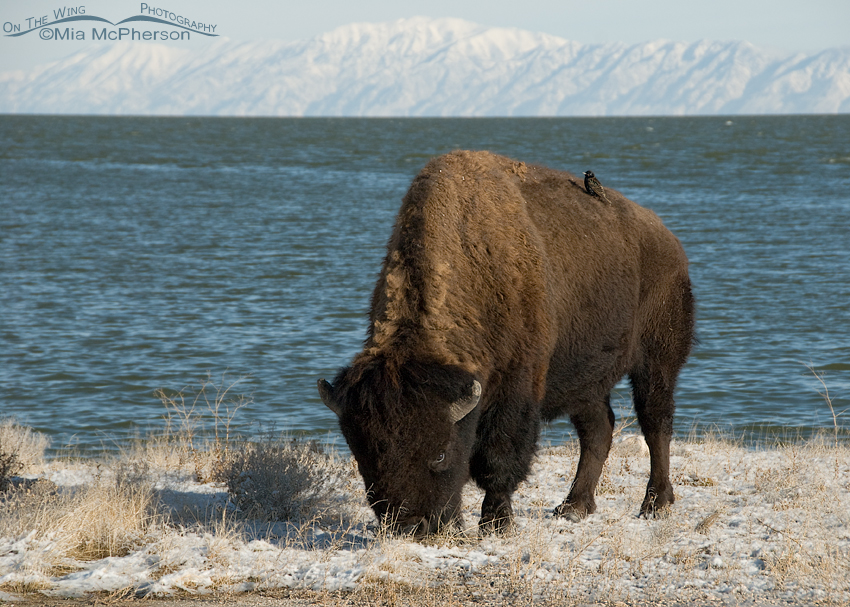 Hitchhiking European Starling on a Bison's back