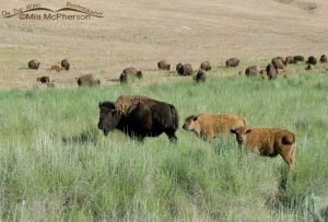 A Bison cow and calves