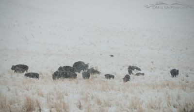 A herd of Bison and one Raven in a blizzard