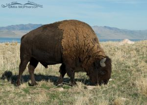 Bison bull grazing in front of Promontory Point