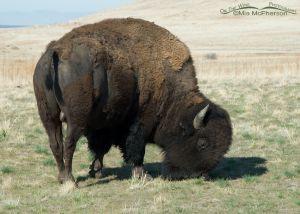 Bison Bull grazing near White Rock Bay