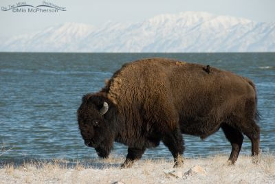 A European Starling hitching a ride on a Bison
