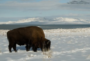 American Bison grazing through the snow