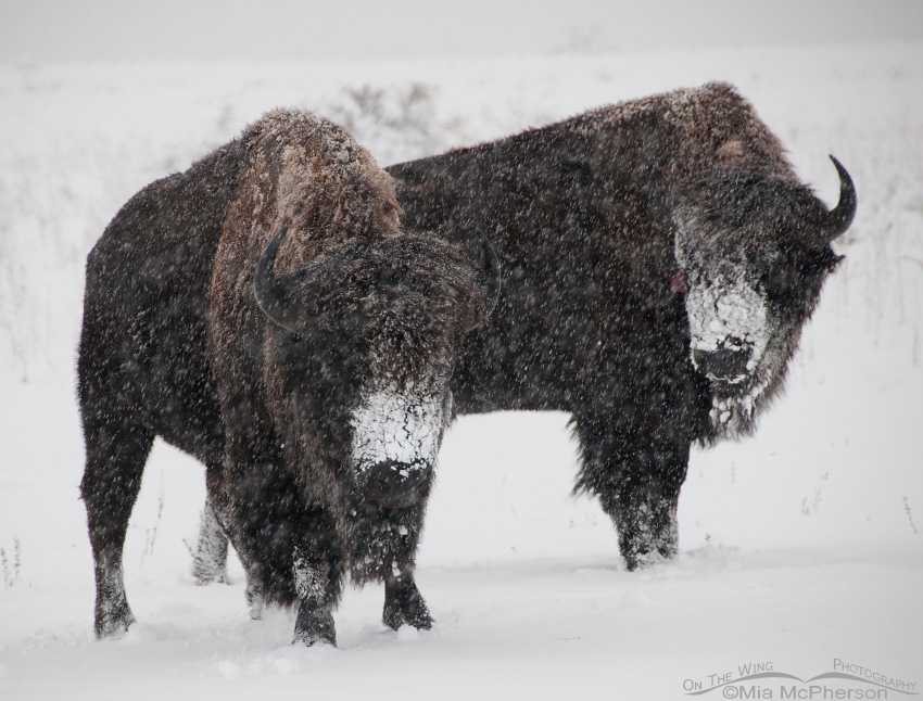 Two Bison and blowing snow