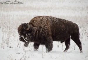 Bison on a snowy day