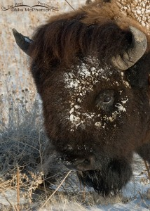 Close up of a Bison bull with a snowy face