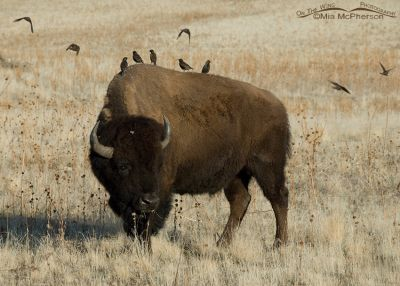 Flock of European Starlings with a Bison